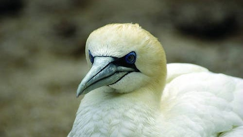 The normal pattern of the Northern Gannet — a species that nests in caves and on rocks along the North Atlantic and flies to the Gulf of Mexico and Caribbean for the winter — was thrown off by the storm.