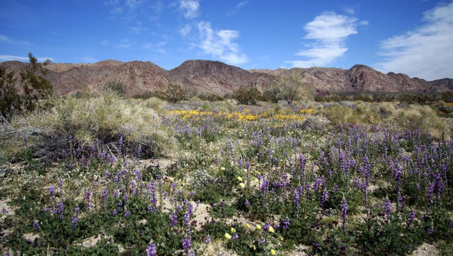 An area just south of Cottonwood Campground in Joshua Tree National Park, Calif.