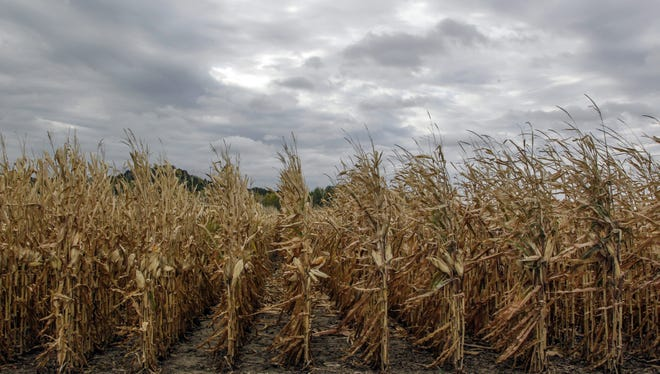 Un-harvested corn stands south of Council Bluffs, Iowa, in October. This year's drought is consistent with predictions that global climate change would bring about more frequent droughts.