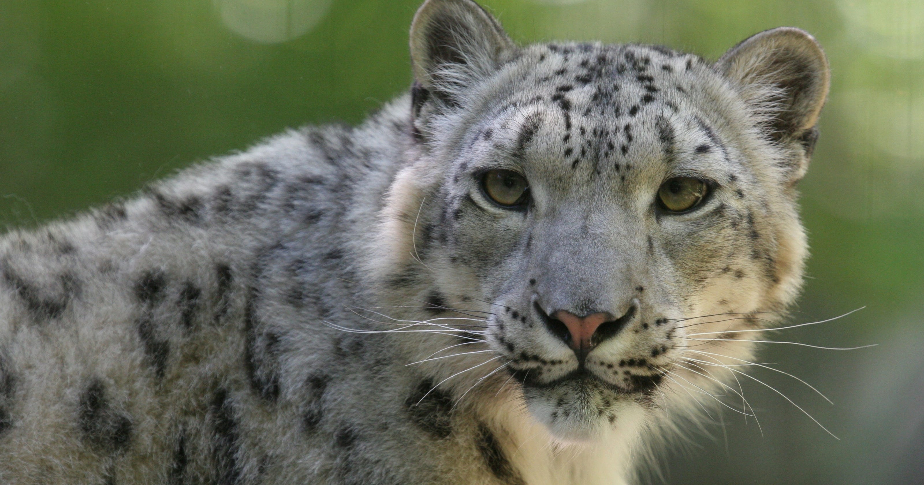 Big Cats In Crisis Populations Dramatically Decline