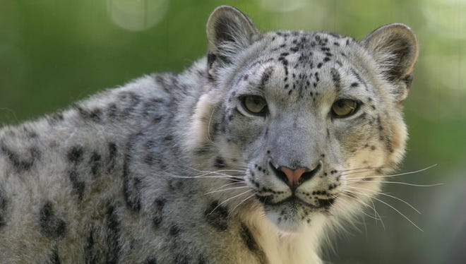 "The snow leopard is ""this mystical, legendary creature."""