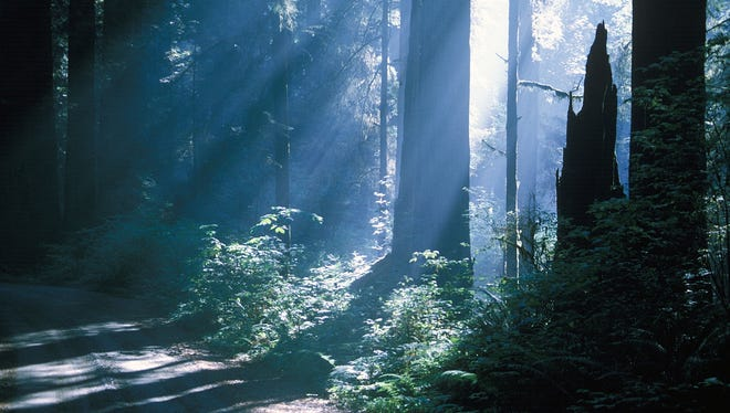The thick redwood forests at Jedediah Smith Redwoods State Park in Northern California, provide an atmospheric setting for a Bigfoot hunt.