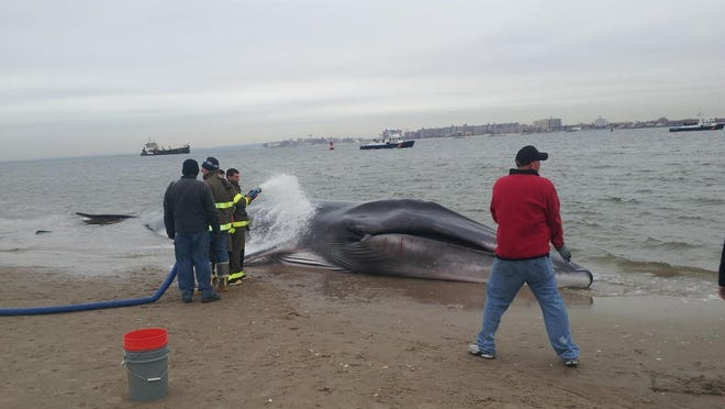 Firefighters assist the beached whale.