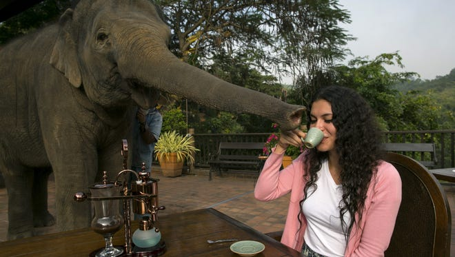 Miki Giles from Hong Kong tastes the Black Ivory Coffee at breakfast as Meena, a 6-year-old baby elephant, gets curious at the Anantara Golden Triangle resort in Golden Triangle, northern Thailand.