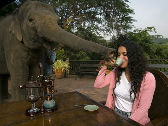 sipping elephant dung coffee