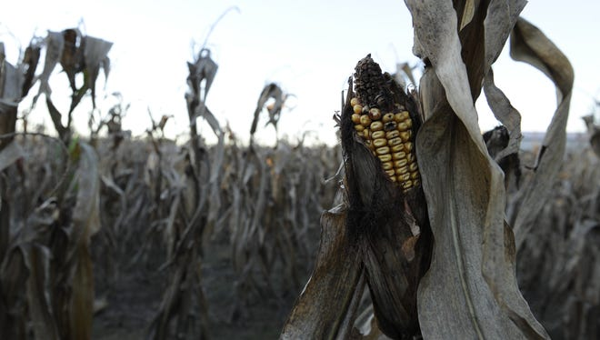 Corn damaged by Midwest drought conditions in Brownsville, Ill.