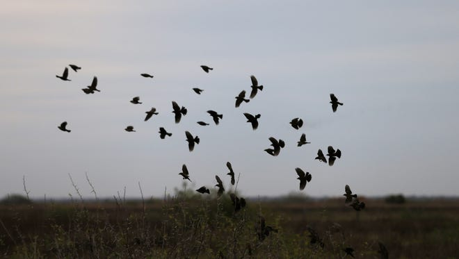 Red-winged blackbirds fly over a field during an annual 24-hour Christmastime ritual to count birds Dec. 17 along the Texas Gulf Coast in Mad Island, Texas.