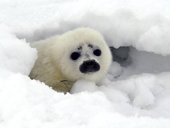 Endangered seals