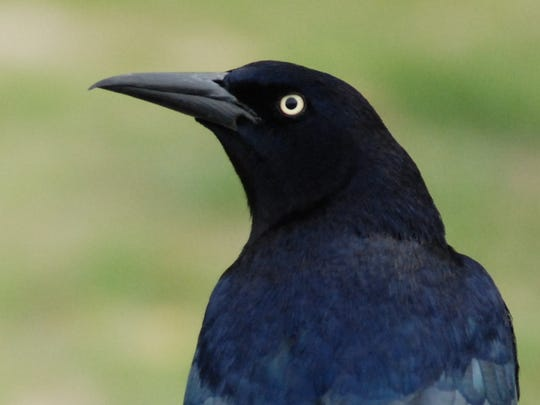 Great-tailed Grackle 2
