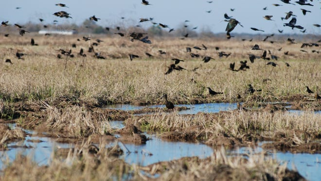 A large flock of great-tailed grackles over a rice field in Louisiana.
