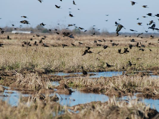 Great-tailed Grackle flock