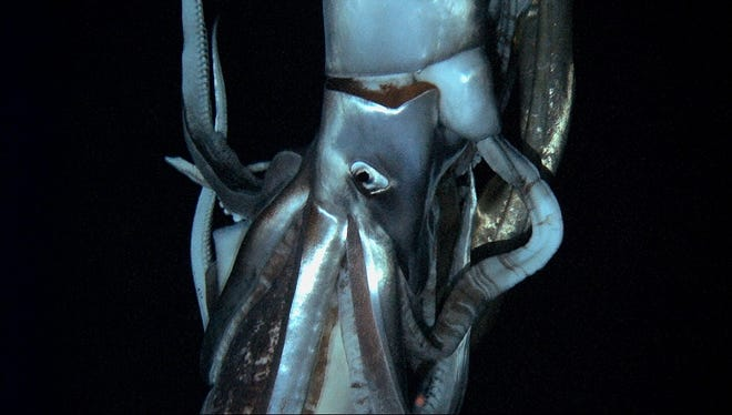 A giant squid, captured for the first time in its deep-sea habitat, swimming in July in the Pacific Ocean off northern Japan.