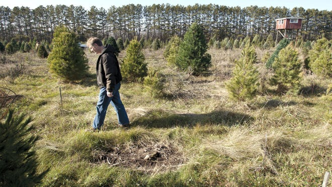 """Mark Utzig paces through Tannenbaum Acres, a Janesville, Wis., tree farm, last fall.  The high temperatures and record drought of summer 2012 wreaked havoc on the farm. """"Normally we lose 5% of the trees for various reasons. This year, it was 95%."""""""