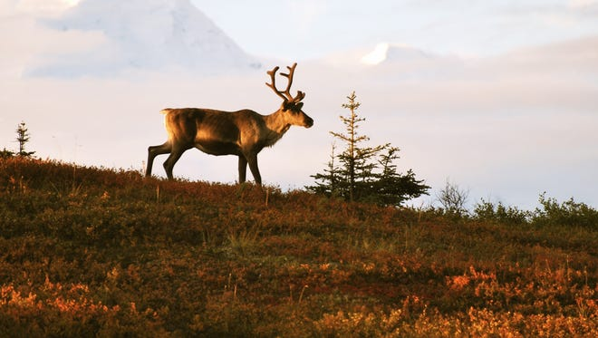 A lone caribou is seen at Denali National Park, Alaska, on Aug. 28, 2009.