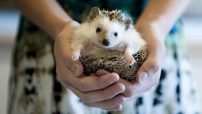 Health officials warn parents to be careful about pet hedgehogs for children.