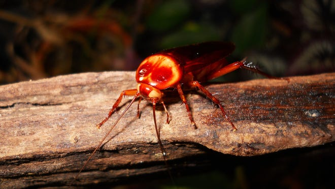 A roach with white eyes is no longer known to exist in the wild and has been maintained in captivity since 1943.