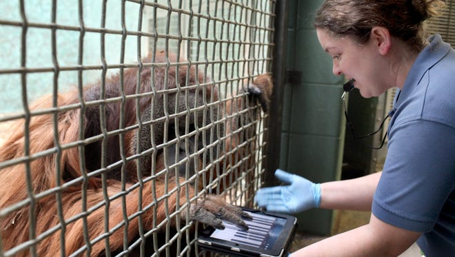 Teak, a male orangutan, works on an iPad with help from keeper Beverly Turgeon at the Louisville Zoo on Wednesday.