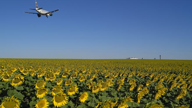 An inbound flight to Denver International Airport flies over a field of sunflowers. 'In the historical timeline, the prairie where Denver International Airport was built was most recently farmland,' said airport spokesperson Laura Coale. 'Some original homesteading families still cultivated winter wheat, sunflowers and other crops,' and today some airport-owned land is still used for farming.
