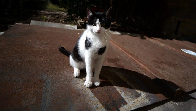 Could Contessina, a cat that roams the gardens at Vatican City, be pontiff emeritus Benedict XVI's first post-papacy cat? He couldn't have one when he lived in the papal residence.