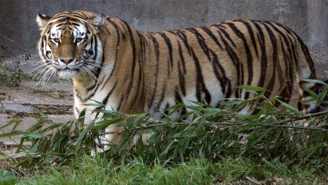 Tatiana, a female Siberian tiger, killed one person and injured two others in 2007 at the San Francisco Zoo. Police shot and killed the tiger after a rampage that began when it escaped from its enclosure