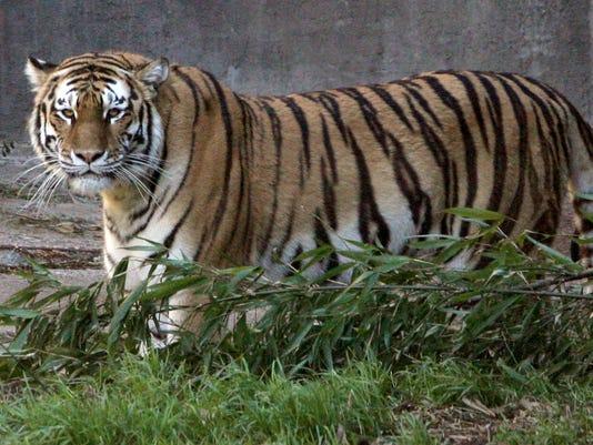 Tatiana, Siberian Tiger