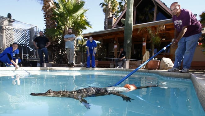 Orthopedic research associate Sarah Jarvis, in center,  and Russ Johnson, president of Phoenix Herpetological Society, right, observe an alligator called Mr. Stubbs as it swims with its new prosthetic tail at the Phoenix Herpetological Society in Scottsdale, Ariz., on Wednesday, March 6, 2013. Sarah Jarvis created and fitted Mr. Stubbs' prosthetic tail. (Gannett, Rob Schumacher/The Arizona Republic)