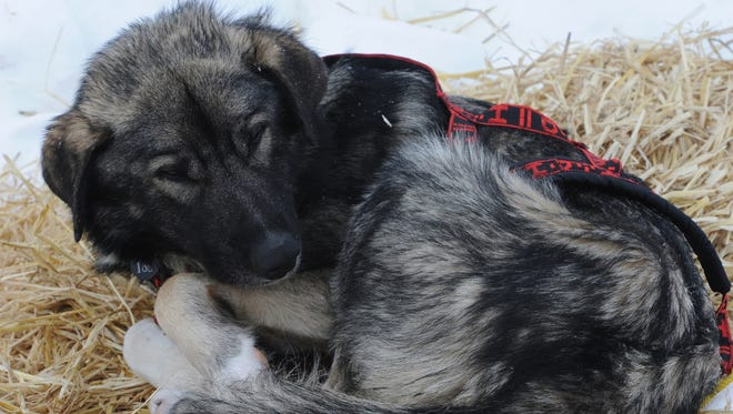 A dog in Jeff King's team rests in Unalakleet on  Sunday during the Iditarod Trail Sled Dog Race.