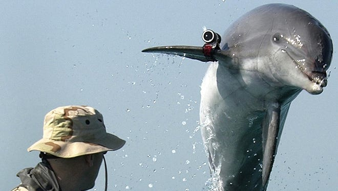 The U.S. Navy's K-Dog, a bottle-nose dolphin belonging to Commander Task Unit, leaps from the water during training in 2003 in the Gulf. Dolphins are used for mine detection and intelligence purposes. Three Ukrainian dolphins, reportedly trained by the Ukrainian Navy for such missions as planting explosives, reportedly escaped recently in the Crimea.