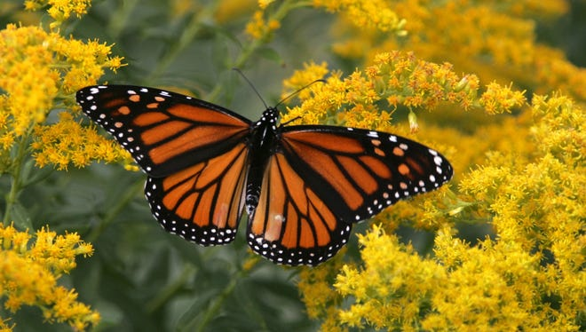 A monarch butterfly lands on a plant in New York in 2006. Recent drought and wildfires in Texas have decimated their food supply.