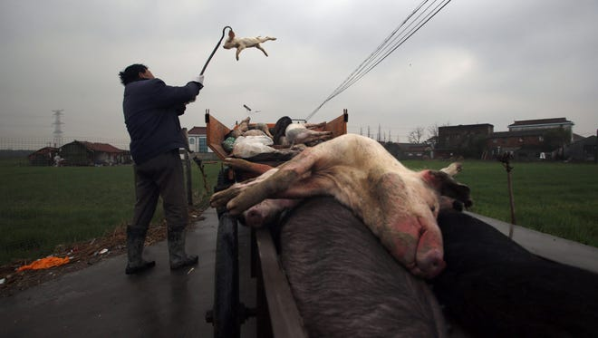 Workers collect dead pigs to deliver to a bio-safety disposal facility in Zhulin village of Xinfeng in east China's Zhejiang province on March 13.