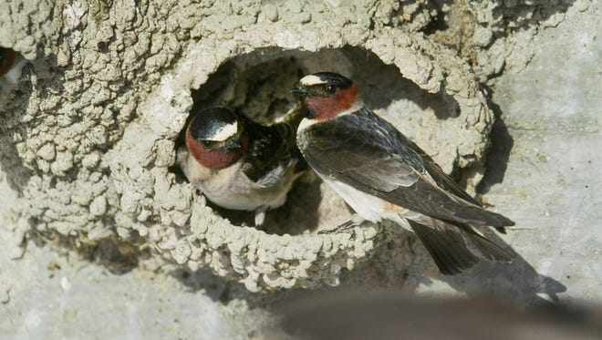 Two cliff swallows at their nest under a bridge in western Nebraska. Over the last three decades, these birds have become increasingly less likely to get hit by cars.