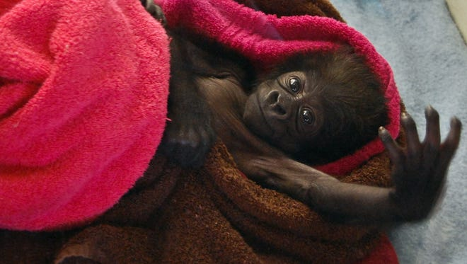A baby gorilla extends an arm at the Gladys Porter Zoo in Brownsville, Texas, where she was born on Jan. 29. The gorilla, who was ignored by her mother, was moved to the Cincinnati Zoo.