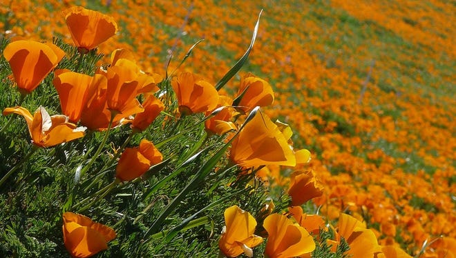 Each spring, the grasslands of the Mojave Desert come to life with fields of orange and red poppies as far as the eye can see. When you visit the Antelope Valley California Poppy Reserve, you'll have eight miles of hiking trails across the gently rolling hills to enjoy. For more poppy fun, come during the annual California Poppy Festival at the end of April.