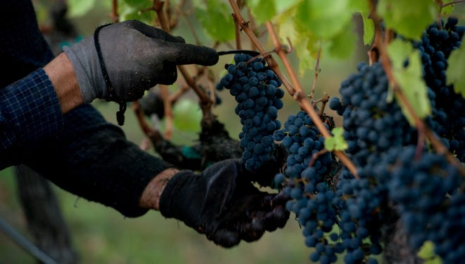 Workers harvesting ripe cabernet sauvignon grapes at the Shafer Vineyards Borderline vineyard in Napa Vally, CA.