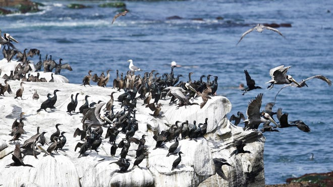 Pelicans and cormorants gathering near the affluent La Jolla section of San Diego have turned the cliffs white with their droppings and caused a stench in the area that draws tourist to restaurants and hotels.
