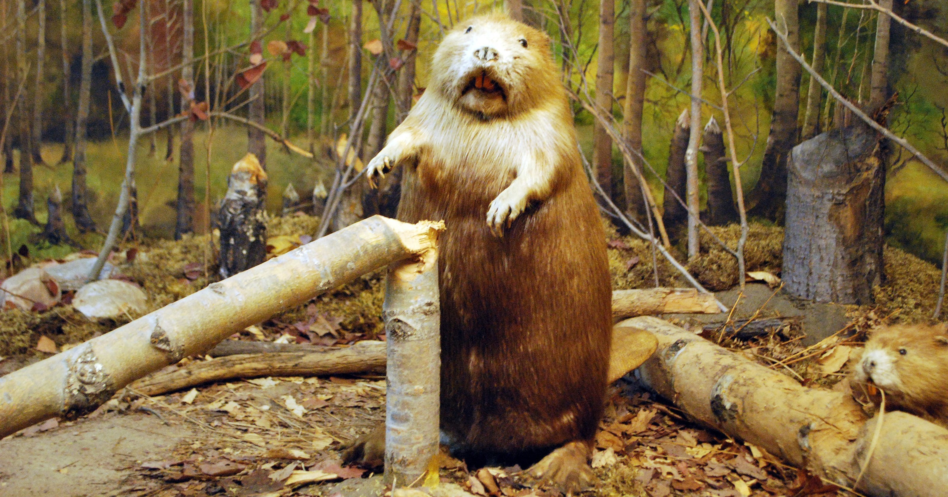 Man tries to take photo of beaver