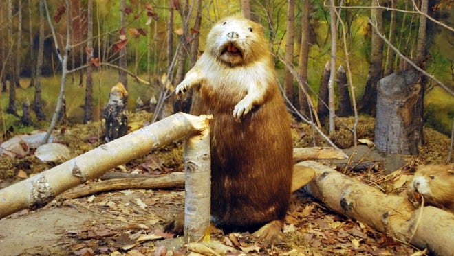 A stuffed beaver is on display at The Call of the Wild Museum in Gaylord, Mich.
