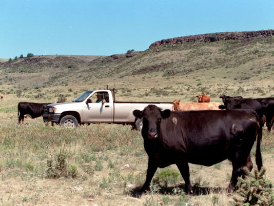 counting cattle