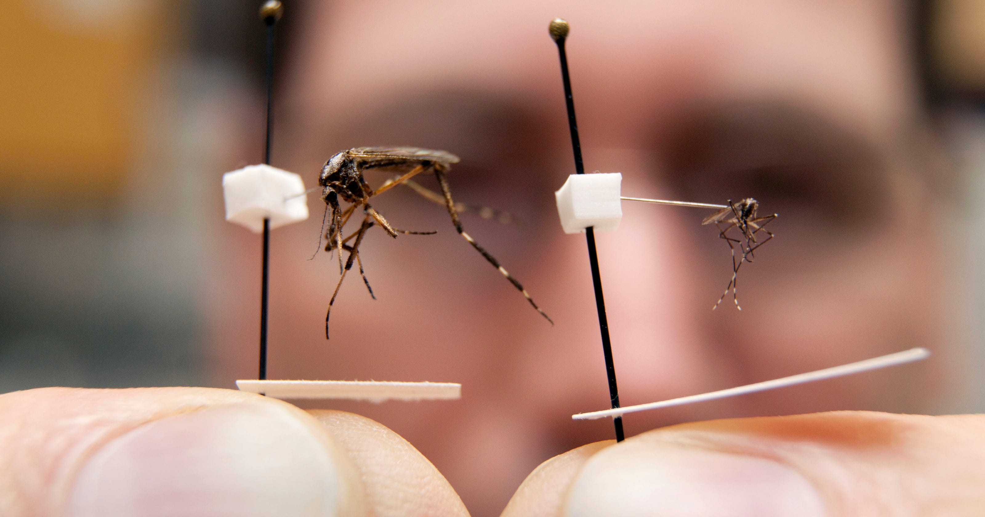 Weather Extremes Could Cause Plague Of Mosquitoes