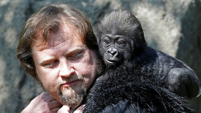 Gladys, the Cincinnati Zoo & Botanical Garden's baby gorilla, makes her first outdoor and public appearance Tuesday, April 30, 2013, along with human surrogate Ron Evans.