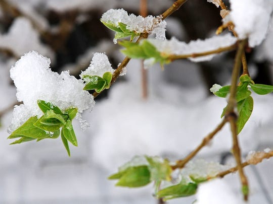 May snow shrub