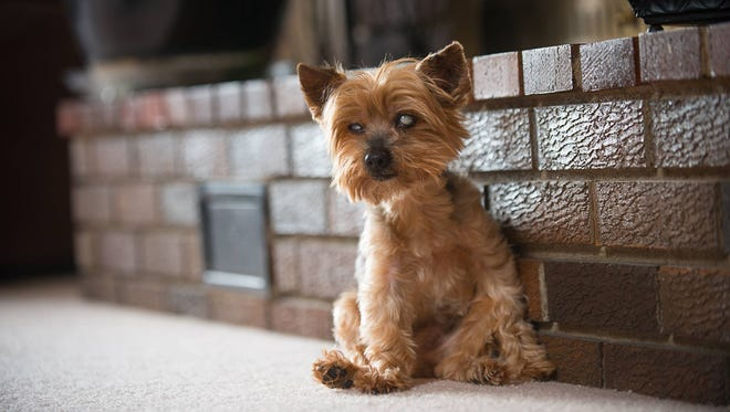 Julius Caesar is an 18-year-old Yorkshire Terrier from Rapid City, S.D. South Dakota was ranked among the top states for pet longevity.