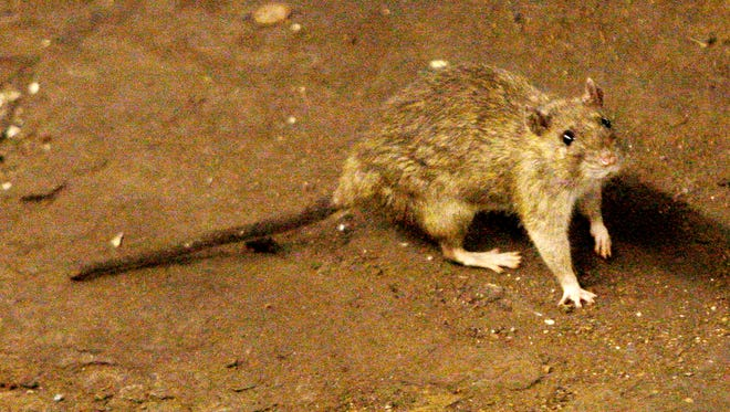 A rat on New York's subway tracks in June 2010.