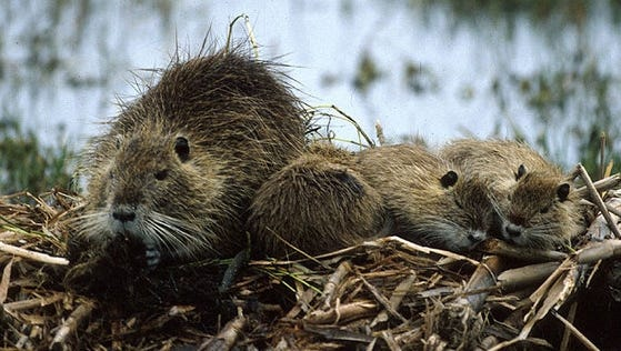 A South American nutria with her pups at the Blackwater National Wildlife Refuge near Cambridge, Md.