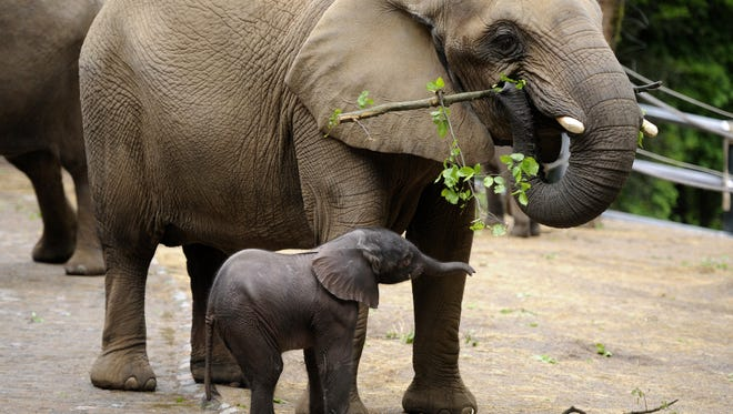Baby elephant Moyo stands next to his mother Sabie during his first outing at the zoo in Wuppertal, western Germany.