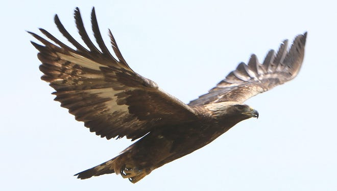 A rare golden eagle takes off from a field in Pawling, N.Y., on Wednesday, May 29, 2013. The golden eagle was injured and taken to Green Chimneys School in Patterson, N.Y., where it was nursed back to health for three months. The bird landed on a home's roof in February.