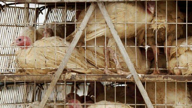Caged live turkeys.