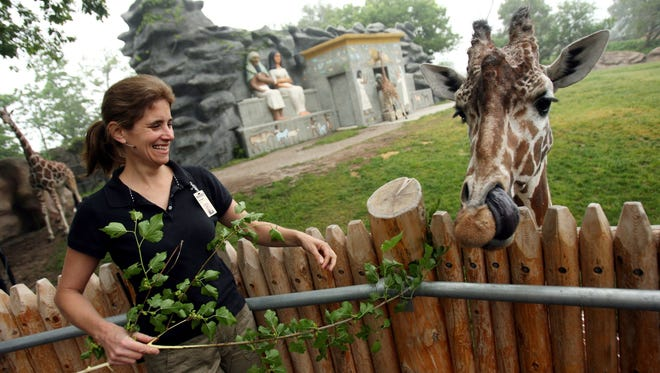 Detroit Zoo's enrichment coordinator, Elizabeth Arbaugh, 43, of Southfield, Mich., feeds Chardo, a female giraffe, a mulberry branch June 4, 2008, at the Detroit Zoo.