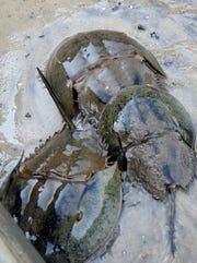 horseshoe crabs 2
