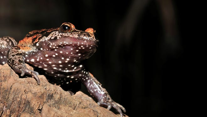 A female Hula painted frog.
